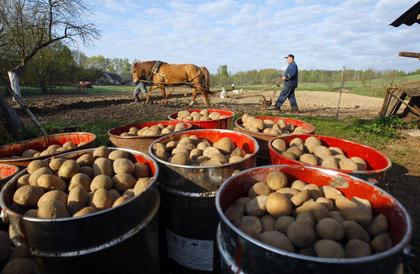 Как сажать картофель на даче в средней полосе России