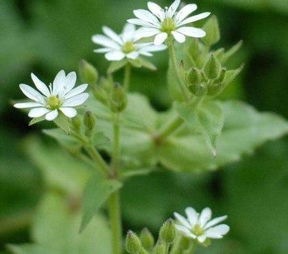 Трава мокрица — что она лечит?