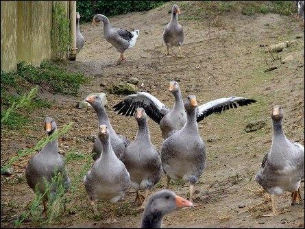 Разведение гусей - инструкция