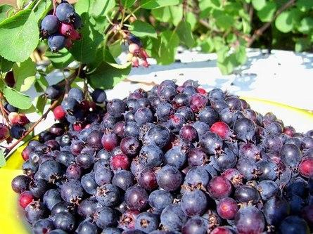 Растение ирга: сорта и выращивание