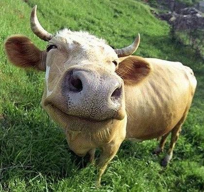 Маленькие хитрости при выборе коровы