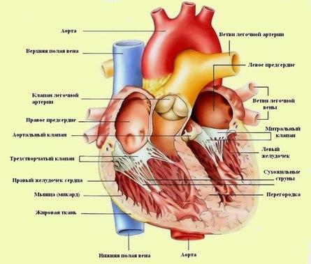 Дела сердечные: питание для сердца