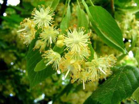 Цветки липы: польза и время сбора