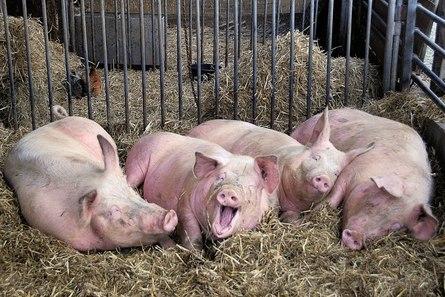 Основание бизнеса, связанного со свиноводством