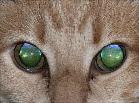 Из-за чего у животных светятся глаза?