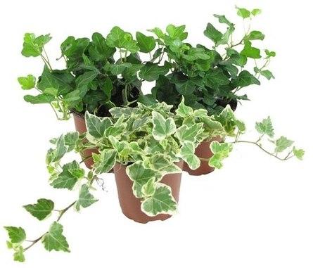 Лучшие растения для очищения воздуха в помещении