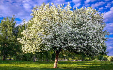 Бактериальный и обыкновенный рак молоденьких яблонь: от симптомов до борьбы и профилактики